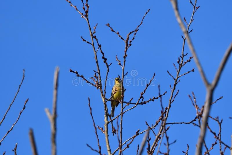 黄色金丝雀鸟citril坐分支yellowhammer 免版税库存照片
