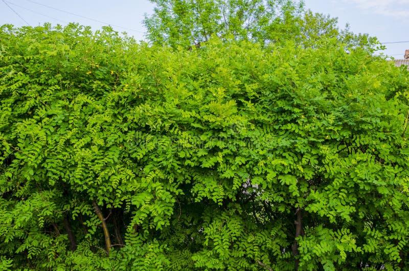 黄色金合欢灌木自然树篱  库存图片