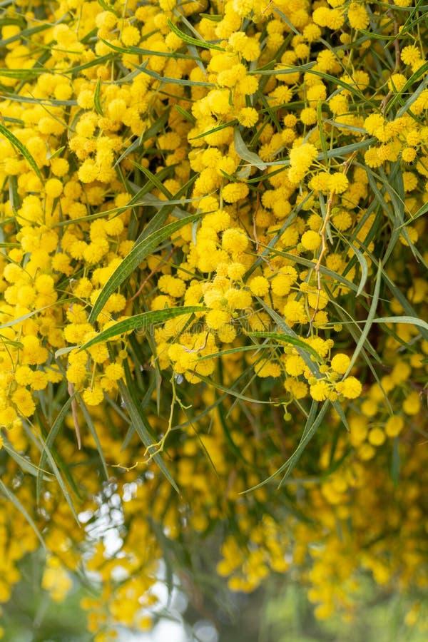 黄色金合欢dealbata或含羞草树春天开花在希腊 库存图片