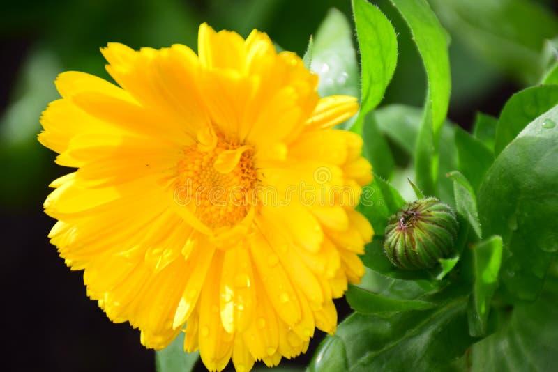 黄色金盏草Officinalis金盏菊,雏菊玛丽亚Rutkovska 库存图片
