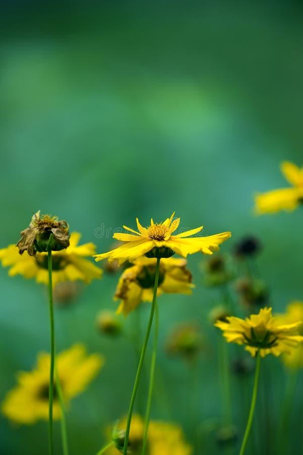 黄色金鸡菊雏菊花有被弄脏的绿色背景 免版税库存图片