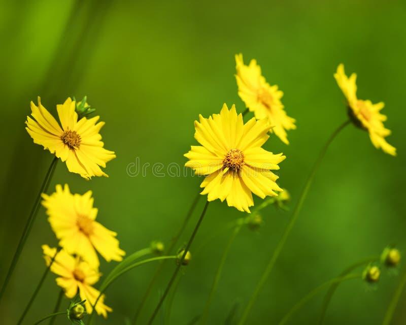 黄色金鸡菊雏菊floers有被弄脏的绿色背景 库存照片
