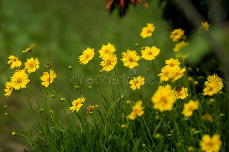 黄色金鸡菊floers有被弄脏的绿色背景 库存照片