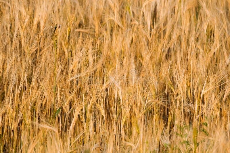 黄色金黄大麦耳朵背景在夏天麦田的 免版税库存图片