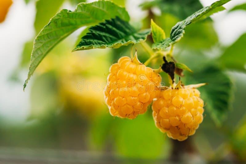 黄色金黄莓 莓 成熟 库存照片