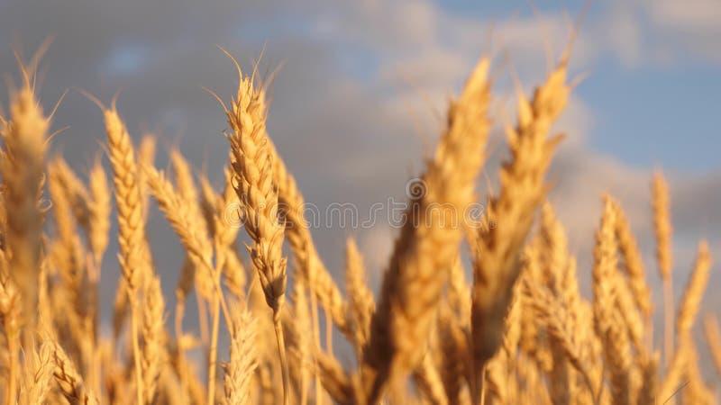 黄色钉在风摇摆 反对天空的成熟谷物收获 与云彩的美丽的天空在领域的乡下 向量例证