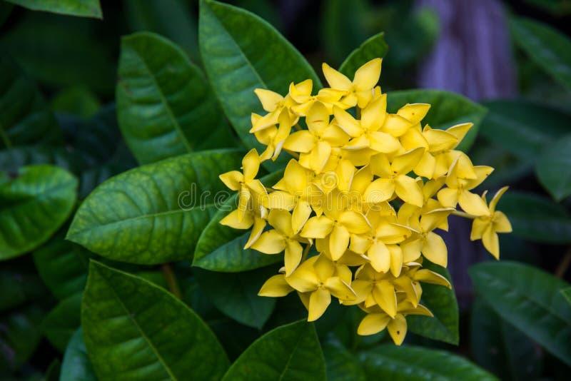 黄色钉花或Ixora coccinea 库存照片