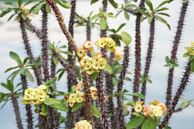 黄色铁海棠的,大戟属milli花 库存图片