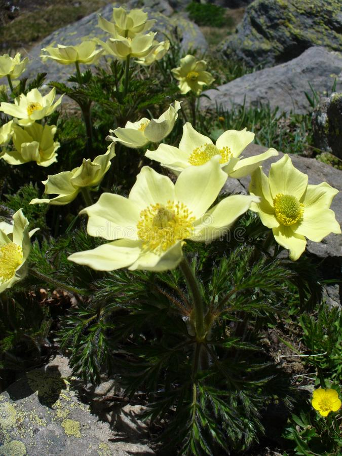 黄色银莲花属在法国阿尔卑斯 库存照片