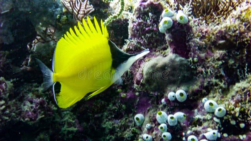 黄色长头蝴蝶鱼在马尔代夫 免版税库存图片