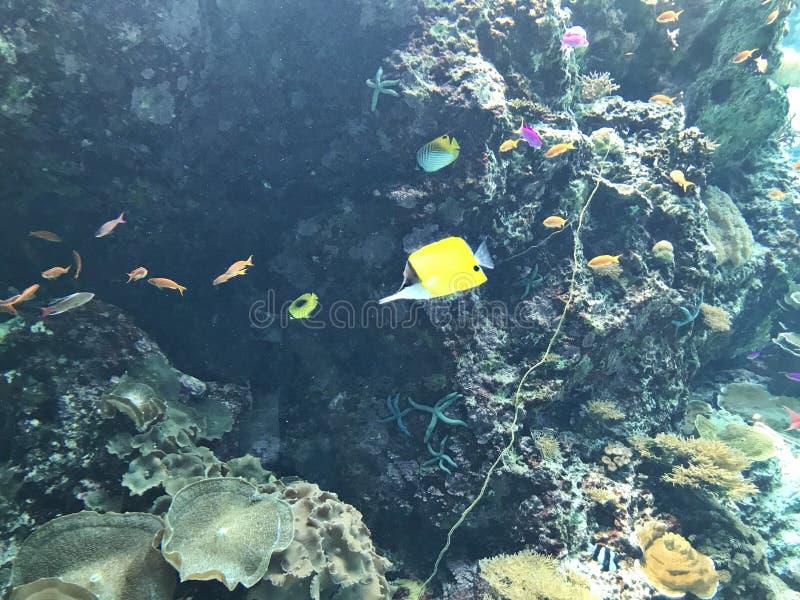 黄色长头蝴蝶鱼或镊子鱼 图库摄影