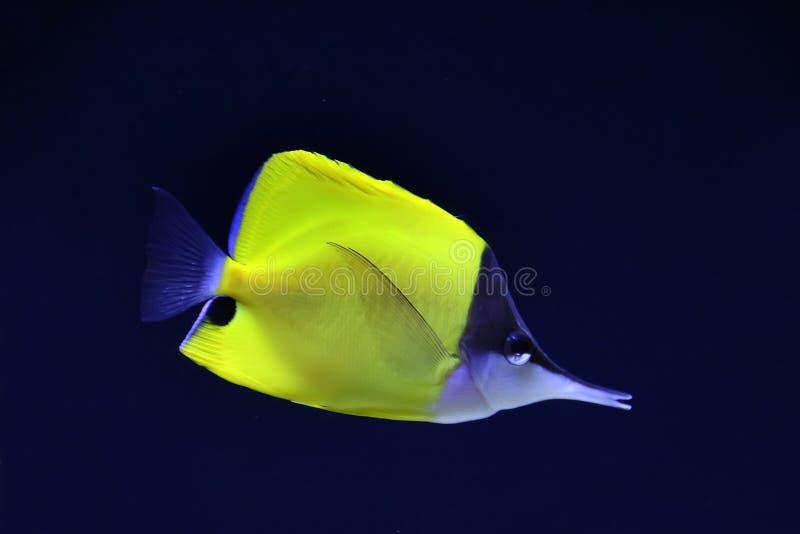 黄色长头蝴蝶鱼 免版税库存图片