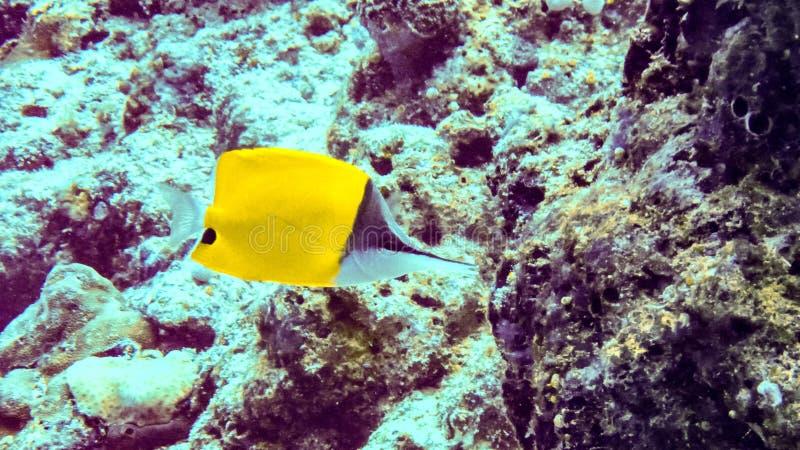 黄色长头蝴蝶鱼Forcipiger longirostris水下在马尔代夫 免版税库存图片