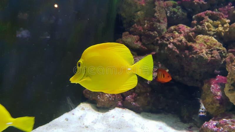 黄色长的板材鱼 图库摄影