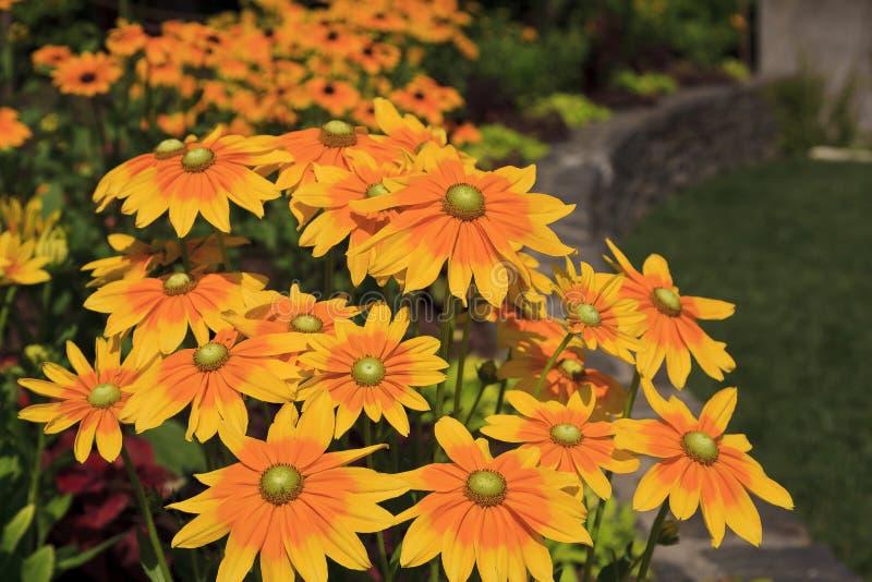 黄色集中了黑眼睛的苏珊花开花 图库摄影