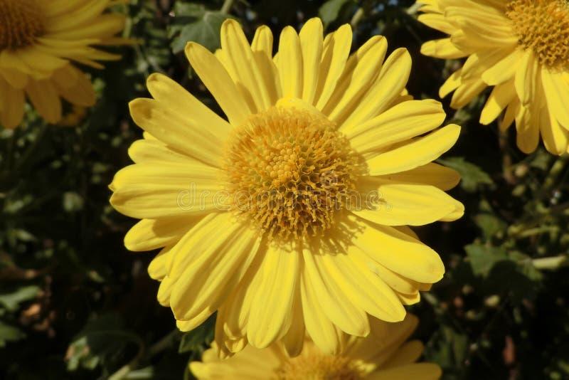 黄色雏菊在新界中在香港 库存照片