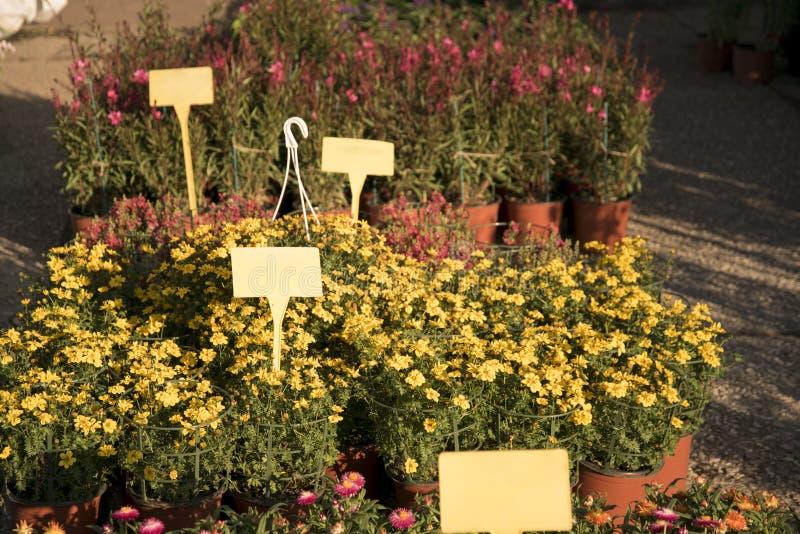 黄色雏菊开花准备好待售,空白的标记 免版税库存图片