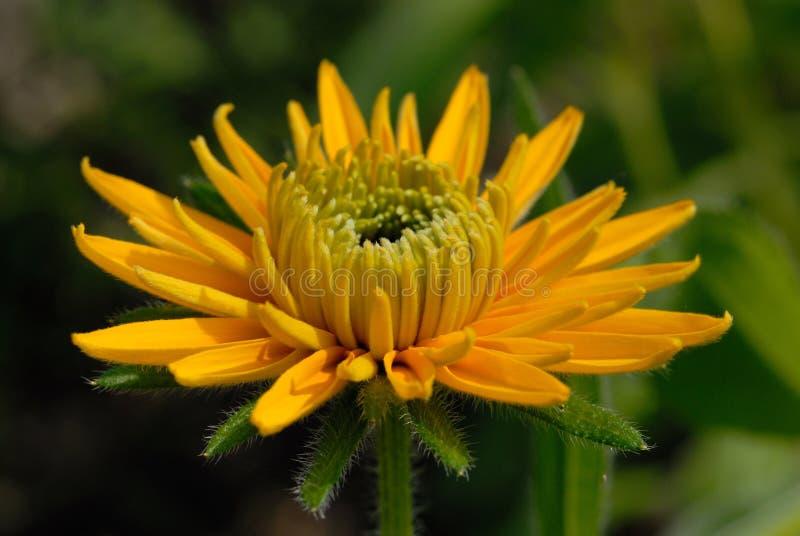 黄色雏菊绽放在夏天庭院里 库存图片