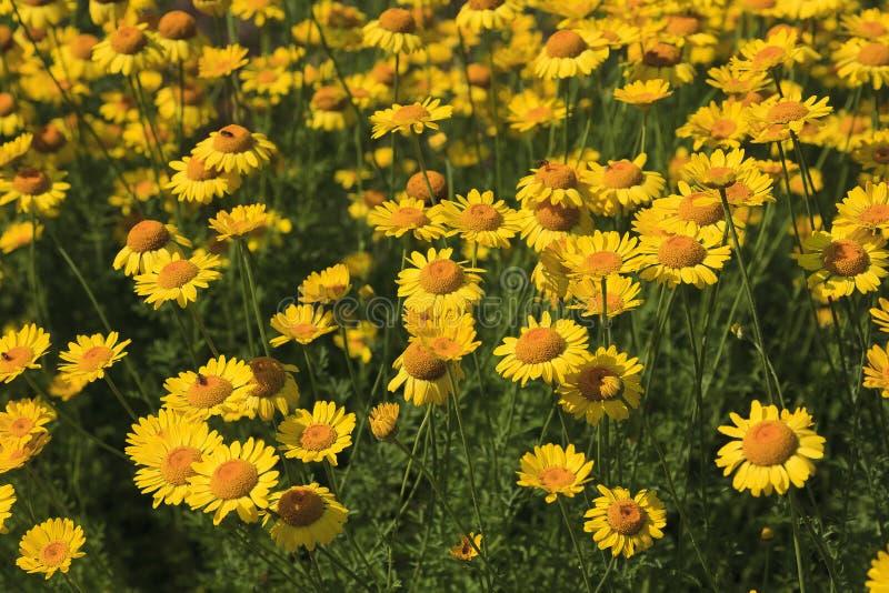 黄色雏菊花圃夏令时 免版税库存图片