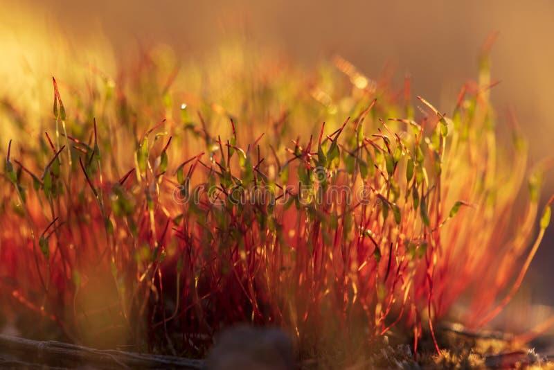 黄色青苔作为在日落的草 免版税图库摄影