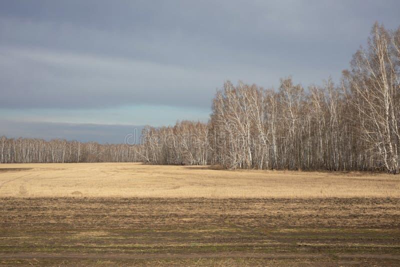 黄色领域在收获,桦树树丛和灰色蓝色天空以后 美好的秋天风景 库存照片