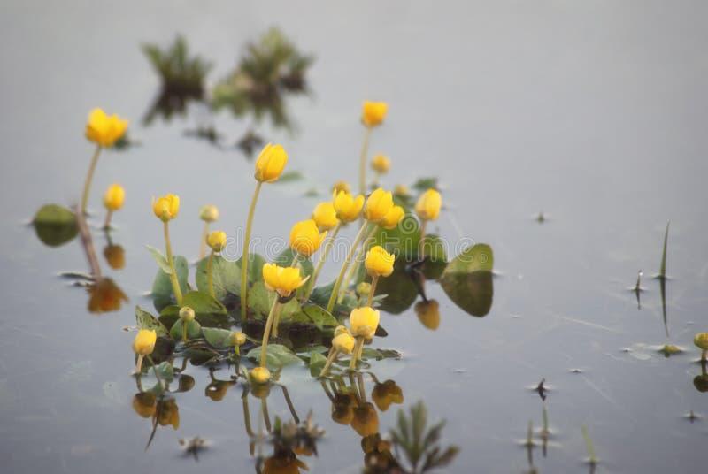黄色领域在floo的水中开花开花在春天 图库摄影