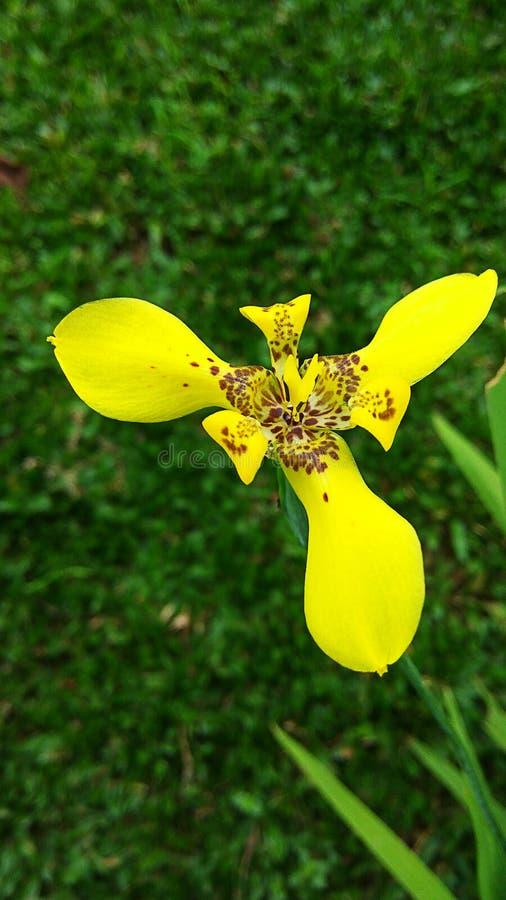 黄色马提尼克岛花的新颜色在庭院03里 库存照片