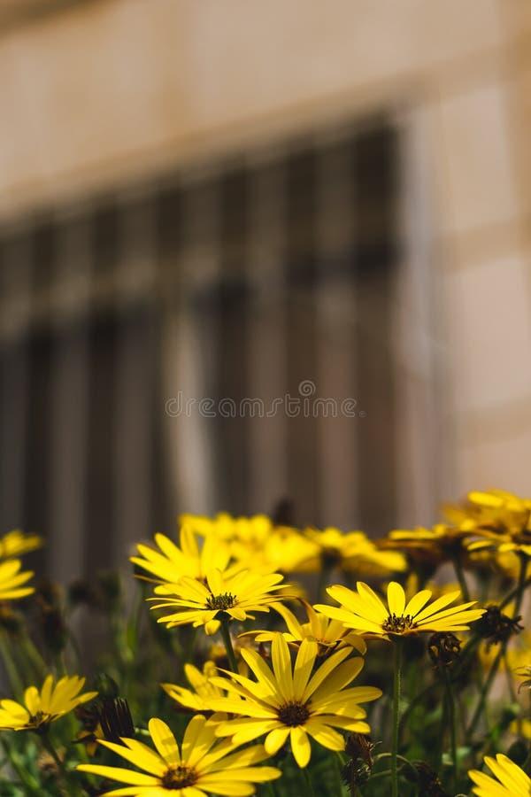 黄色鲜花背景 免版税库存照片