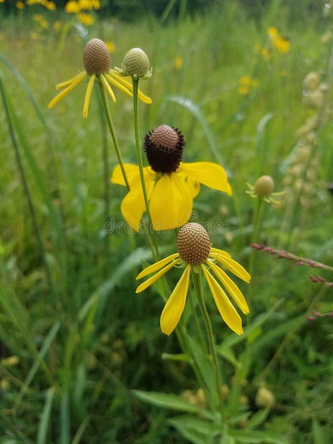 黄色鳍类的大草原Coneflower,俄亥俄 库存图片