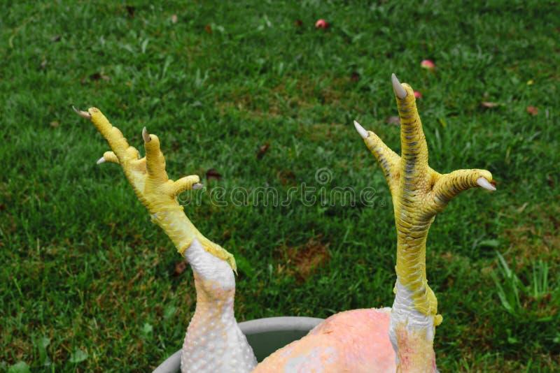 黄色鸡的抽象构成在绿草背景前面抓 免版税库存图片