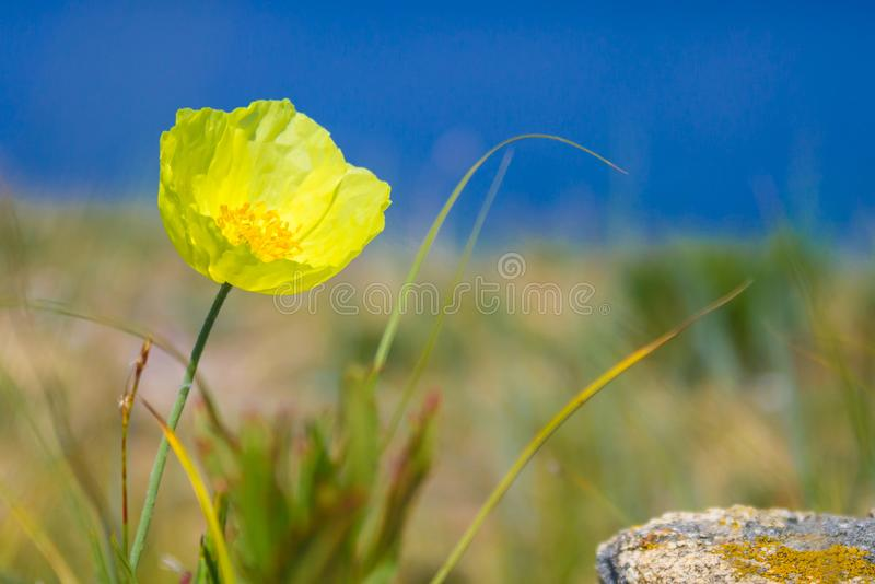 黄色鸦片的芽在干草原的 库存图片