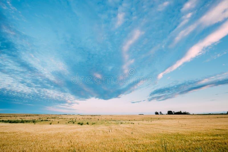 黄色麦田农村风景在蓝色晴朗的天空背景的 免版税库存照片