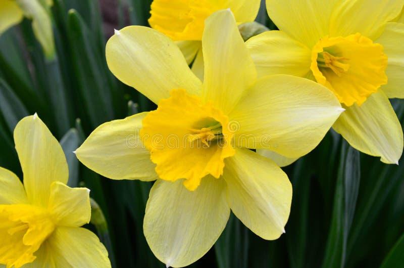 黄色黄水仙在春天美丽的花开花 免版税库存图片