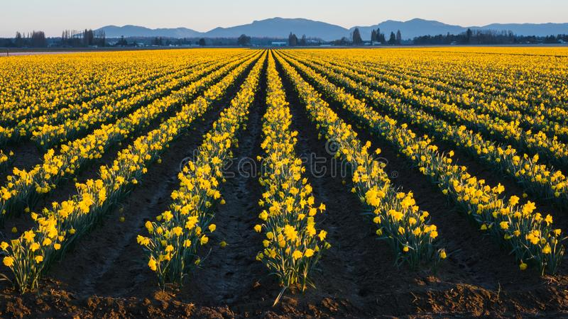 黄色黄水仙的领域在绽放的在Skagit谷华盛顿州 库存图片
