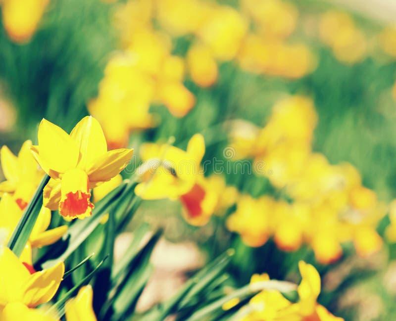 黄色黄水仙背景,秀丽过滤器 库存图片