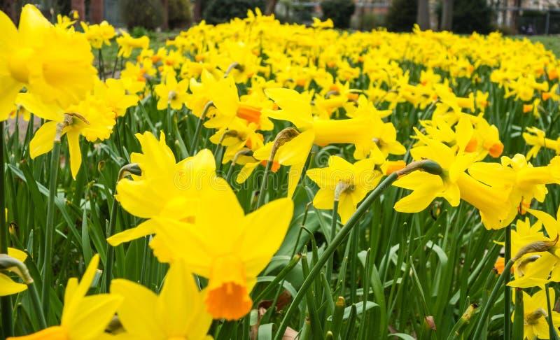 黄色黄水仙花圃在春天 图库摄影