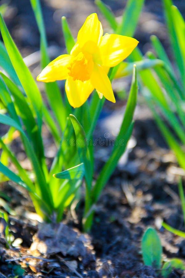 黄色黄水仙花在庭院里 在花圃的美丽的水仙 库存图片