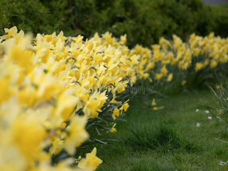 黄色黄水仙/水仙行在春天开花 浅深度的域 免版税库存照片