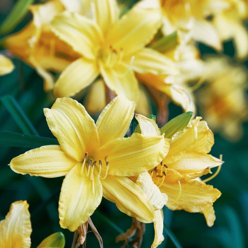 黄色黄花菜的开花的花关闭  库存照片