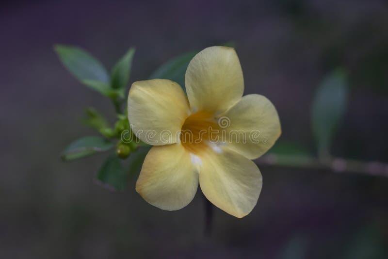 黄色黄蔓花在庭院里 库存照片