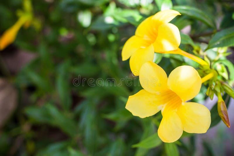 黄色黄蔓花 库存图片