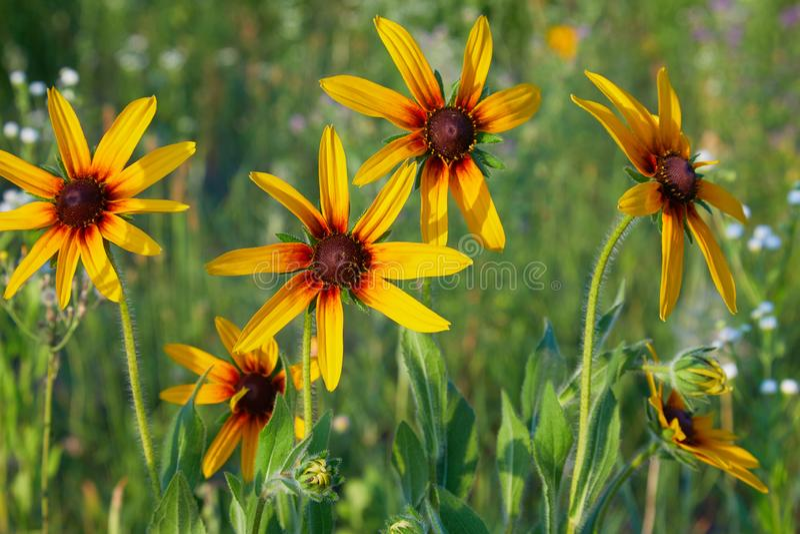 黄色黄金菊coneflowers,黑被注视susans的花特写镜头 免版税库存图片