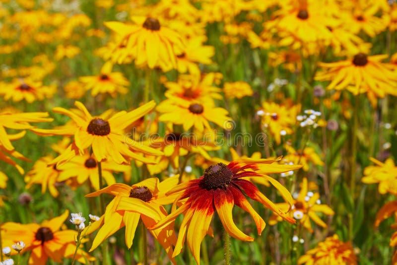 黄色黄金菊coneflowers,黑被注视susans的花特写镜头 黄金菊在庭院里 图库摄影