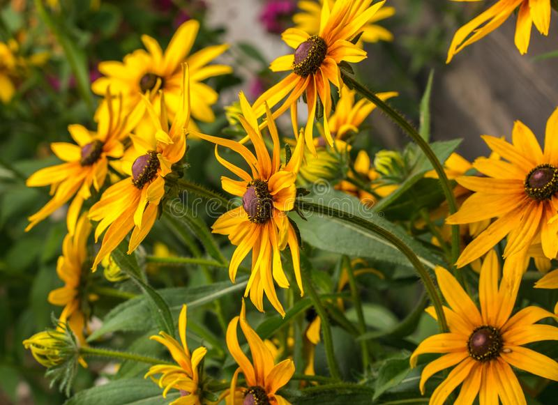 黄色黄金菊coneflowers,黑被注视susans的花特写镜头 黄金菊在庭院里 库存照片