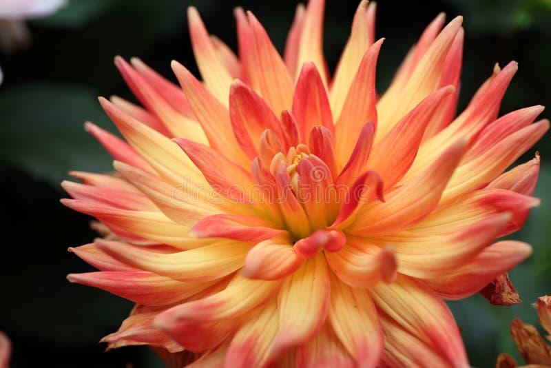 黄色,橙色大丽花pinnata贾夫在庭院里 库存图片