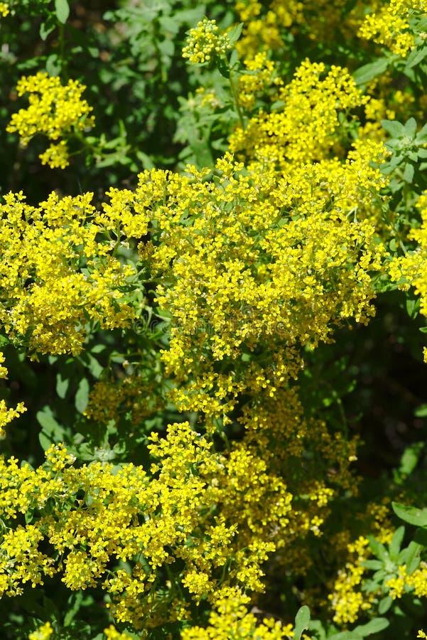 黄色alyssies山花树丛  库存照片