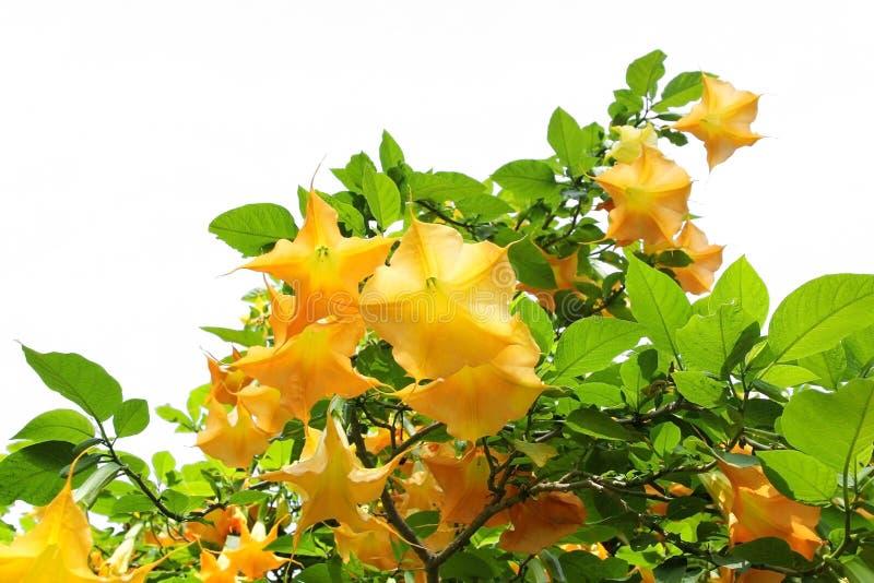 黄色brugmansia或天使在白色背景吹小号 库存图片