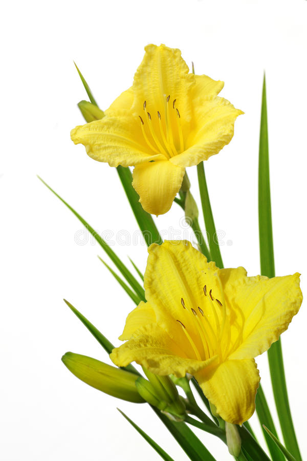 黄色Daylily 免版税库存照片