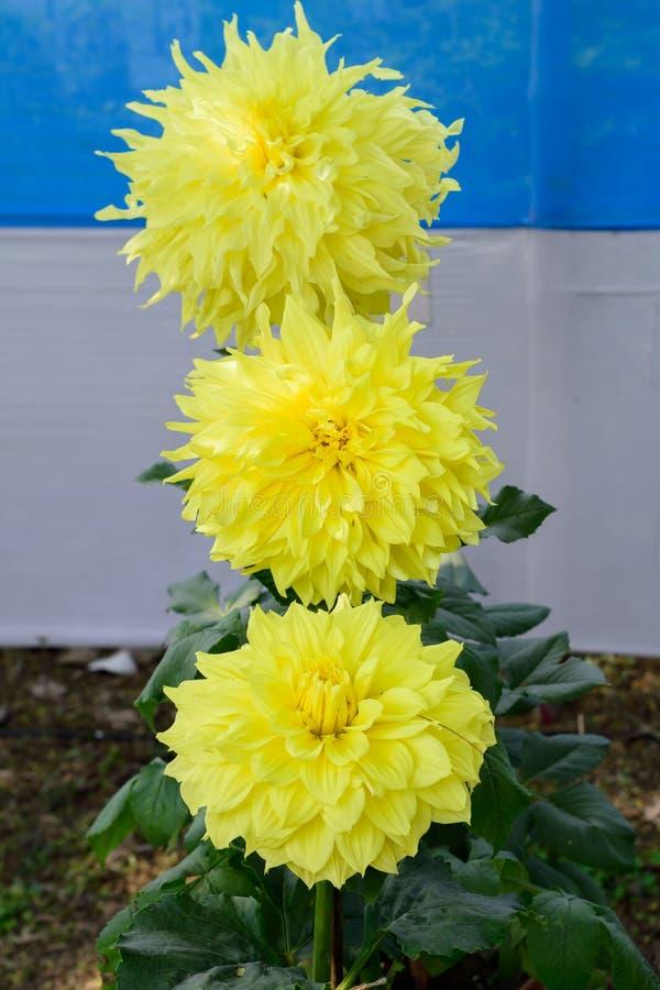 黄色Guldavari花植物,草本四季不断的植物 这是太阳爱的植物绽放在早期的春天对晚夏 A 免版税库存照片