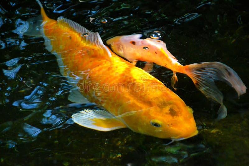 黄色koi鲤鱼 库存照片
